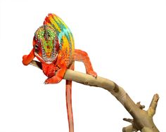 Panther Chameleon - Furcifer pardalis - Ambilobe - Male  Hiccup Sire at Canvas
