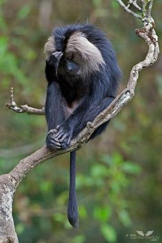 Lion Tailed Macaque, Western Ghats, India
