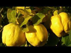CEAIUL din frunze de GUTUI. Beneficii pentru sanatate - YouTube New Fruit, Fruit And Veg, Fruits And Vegetables, Fruit Plants, Fruit Trees, Banana Plants, Quince Fruit, Photo Fruit, Healthy Sweets
