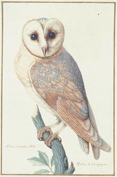 The birds of Nicolas Robert (1614 - 1685). This is the most feminine version  I've ever seen of a barn owl