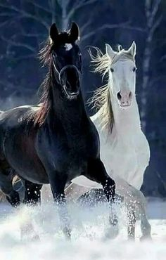 ♂ Black and White horses running - Irmas hästbilder - Horse