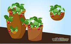Grow Strawberries Step 29.jpg