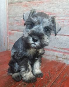 See this Instagram photo by @the_schnauzer_house • 317 likes
