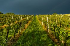 Vineyard & Storm by funkyeye #Landscapes #Landscapephotography #Nature #Travel #photography #pictureoftheday #photooftheday #photooftheweek #trending #trendingnow #picoftheday #picoftheweek