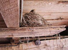 Robin on her nest