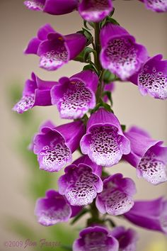 Foxglove is an early summer bloomer, reaching two to three feet in height (taller in well fertilized gardens) and lives quite comfortably in the shade. It will also live in the sunny garden if kept decently watered but it prefers the semi-shade to full shade.