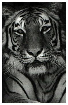 Marvelous Drawing Animals In The Zoo Ideas. Inconceivable Drawing Animals In The Zoo Ideas. Tiger Drawing, Drawing Techniques, Designs To Draw, Animal Drawings, Animal Pictures, Primitive, Creatures, Ink, Kawaii Drawings