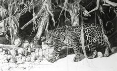 Wildlife Art by Neil Allen, International Artist.Welcome to his website where you can find a seleccion of his paintings. Pencil Drawings Of Animals, Peafowl, International Artist, Wildlife Art, Anthropology, Natural History, Big Cats, Giraffe, Illustration