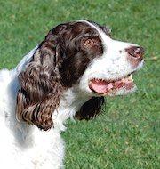 English Springer Spaniel dog for Adoption in Shakopee, MN. ADN-533641 on PuppyFinder.com Gender: Female. Age: Senior