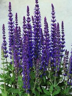 "** Salvia - Merleau Blue. Perennial in zones 4-8, full sun to mostly sunny. 12-16"" in height. Deer and rabbit resistant. Flowers early summer to fall."