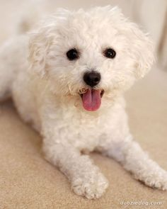 A teenager named Madison who I mentor is a huge animal lover. In fact, she's the kind of that begs her parents to take in virtually any stray dog or cat off the street. Madison's love of Bolognese Puppies, Bichon Bolognese, Top 10 Dog Breeds, Baby Animals, Cute Animals, Cute Dogs And Puppies, Doggies, Fru Fru, Lap Dogs