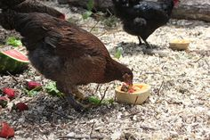 Chickens will eat anything!