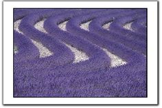 Pretty in Purple, Provence Lavender fields go on forever.Lavender as a botanical is soothing relaxing and healing. Keep a bottle of Lavender essential oil in your medicine cabinet.