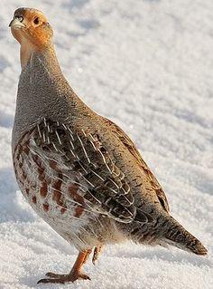 Grey Partridge (Perdix perdix), also known as the English partridge, Hungarian partridge, or hun,