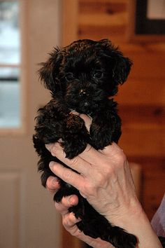 This looks just like our Yorkie! that's his name, lol he's s yorkie poo! Yorkie Poo Puppies, Yorkie Poodle, Tea Cup Poodle, Puppies And Kitties, Cute Puppies, Cute Dogs, Doggies, Schnoodle Puppy, Teacup Poodle Puppies