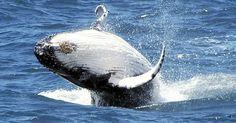 Um grupo de cientistas da Austrália e Nova Zelândia colocaram sonares nas águas da Antártida, nesta terça-feira (27), para rastrear a presença de baleias azuis (Balaenoptera musculus) no local. A imagem, fornecida por um órgãos australiano, mostra uma dessas baleias