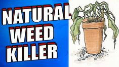 You don't have to resort to chemical herbicides in order to get rid of invasive weeds. Safer options exist that will work just as effectively. They may take a bit more persistence, but the benefits of organic control methods far outweigh the negative health effects of chemical pesticides. Here are 21 ways to kill weeds naturally and fast.  No 1 SALT  Stock up on discounted rock salt at the end of winter and sprinkle it on garden paths to fight weeds in the spring - table salt works too. Kill Weeds Naturally, Old House Design, End Of Winter, Lawn Edging, Weed Seeds, Weed Killer, Natural Health Remedies, Garden Art, Garden Paths