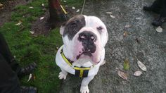 Murphy is a handsome 3 year old American Bulldog, who's looking for loving owners with an active lifestyle. He loves saying hello to his human pals at the Centre and has made a few doggy friends too. Murphy isn't too fussed about toys - as he'd much rather be out & about exploring the great outdoors!  @dogstrust #rehomeadog