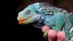 Iguana-de-crista-de-Fiji