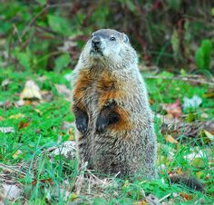 Candlemas, Groundhog day, Imbolc, whatever you like to call it, February 2nd is a day for predicting the weather to come…  If Candlema...