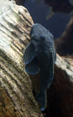 Blue Panaque