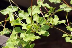 9 Different Types of Ivy (Pictures + Facts) | Trees.com Ivy Plant Indoor, Best Indoor Plants, Types Of Ivy, English Ivy Plant, Boston Ivy, Evergreen Vines, Ivy Plants, Different Types, Green Flowers