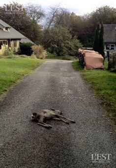 Montenois : une habitante, au centre du village, a assisté à l'agonie d'un chevreuil tué par quatre chiens