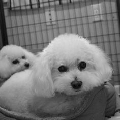 Ash and Cinder Breed: Bichon Frise (medium coat) Age: Senior Sex: Female Size: Small Shelter: Ninna's Road to Rescue Location: Benton, LA 71006 Description