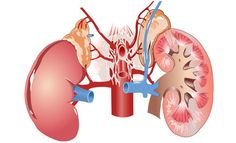 Kidney damage kidney health,healthy kidneys naturally kidney infection pain symptoms,kidney infection symptoms causes kidney infection symptoms in men. Interesting Facts About Humans, Human Kidney, Human Body Organs, Homeopathy Medicine, Chronic Kidney Disease, Disease Symptoms, Chronic Pain, Cancer Fighting Foods, Kidney Failure