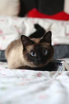cute siamese cat                                                                                                                                                                                 More