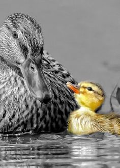 """Hey mom when will my feathers turn grey like yours? I feel like the ugly yellow duckling."" """