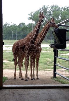 Tall tale: Leading giraffe expert visits rare reticulated twins at Wildlife Ranch's Longneck Learning Center