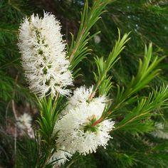 melaleuca armillaris the healing, cleaning tree
