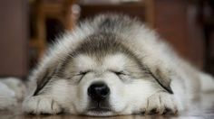 Awe sleeping husky.