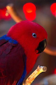 Parrot - Electus