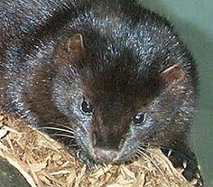 American Mink picture, Mustela vison