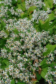 Aster divaricatus 'Eastern Star' (White wood aster) - Perennial - Zones 3-8, Height 18-24 in. Also known as Eurybia divaricata 'Eastern Star'. Zillions of tiny white flowers with yellow and brown centers blanket this low-growing aster. It is shorter than the straight species and has deep dark shining mahogany stems. A fantastic groundcover for full to part shade!