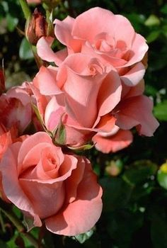 Captivating Why Rose Gardening Is So Addictive Ideas. Stupefying Why Rose Gardening Is So Addictive Ideas. Most Beautiful Flowers, All Flowers, My Flower, Pretty Flowers, Rosas Color Coral, Coral Roses, Coral Pink, Rosa Rose, Color Rosa