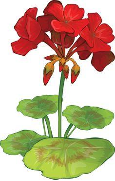 geranium flower drawing - photo #21