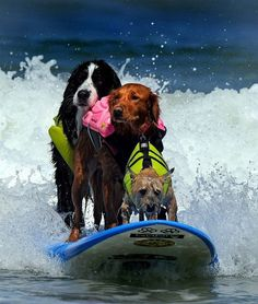 Surf's Up, dudes!  The two bigger dogs look like they've done this 100 times and it's no big deal.  The smaller one in front however, looks like he's just hoping the ride will soon be over!  So cute!