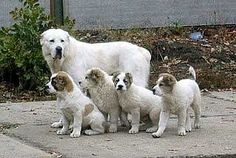 Central Asian Shepherd Dog Breed Information and Pictures - PetGuide Buy Puppies, Dogs And Puppies, Big Dogs, Shepherd Puppies, Shepherd Dog, Alabai Dog, Kangal Dog, Akbash Dog, Guard Dog Breeds