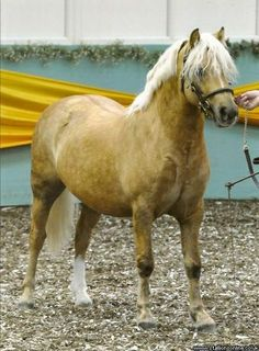 Welsh stallion 'Cwmmawr Heart of Gold' section C: Welsh pony of cob type