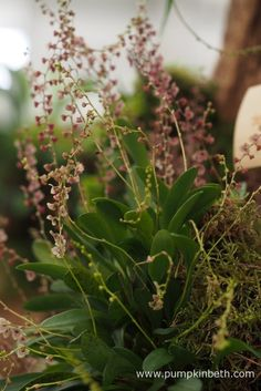 Stelis thermophila, pictured on the Gold Medal winning orchid exhibit, created…