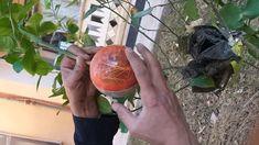 اكثار الليمون الحامض..بواسطة كرات الترقيد الهوائي Globe, Plants, Plant Propagation, Speech Balloon, Plant, Planets