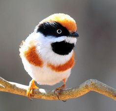 Black-throated Bushtit (Aegithalos concinnus), also known as the Black-throated Tit by 嘎哩. via Wild life and Nature Pictures FB