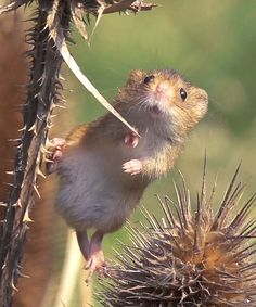 Harvest mice are Europe's smallest rodents. It is easily identified with its blunt nose, short, rounded hairy ears and golden-brown fur. It posses a remarkable prehensile tail, which is used as a...