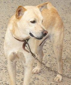 ADOÇÃO - BRANQUELO by ADOTE ANIMAIS, via Flickr Labrador Retriever, Dogs, Animals, Pet Adoption, Labrador Retrievers, Animales, Animaux, Doggies, Labrador