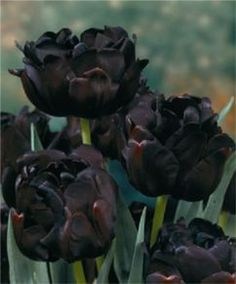 "Tulip Black Hero A sport of the famed Queen of the Night, this peony-like bloom is lustrous midnight-black with a maroon sheen. Bulb size: 12 cm/up. Late April. 22"". HZ: 3-7."