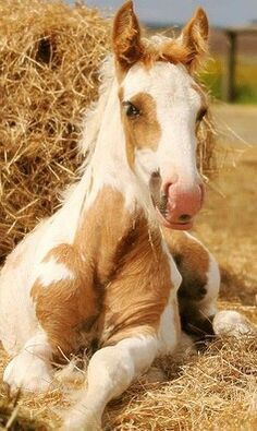Adorable baby horse, foal, lying in the straw. Paint markings with cream and pretty tan. He is so fuzzy and cute! Baby Horses, Horses And Dogs, Cute Horses, Horse Love, Wild Horses, Animals And Pets, Cute Animals, Farm Animals, Beautiful Horse Pictures