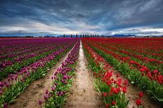 The tulip was introduced to Europe by Ogier de Busbecq, the ambassador of Ferdinand I, Holy Roman Emperor to the Sultan of Turkey, who shipped bulbs and seeds to Vienna in 1554 from the Ottoman Empire.